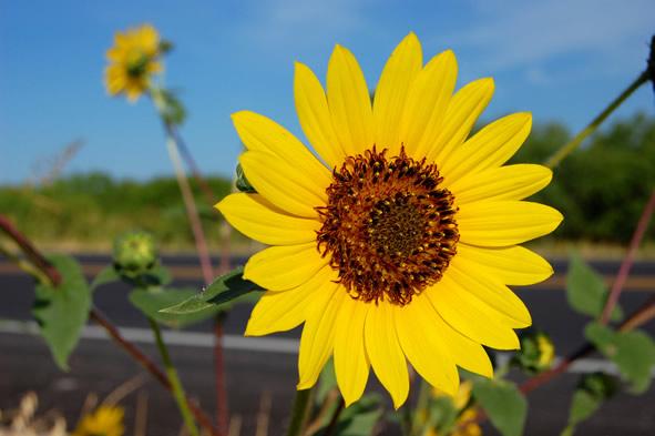 morning sunflower in Texas